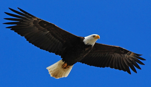 Bald_Eagle_Stock2