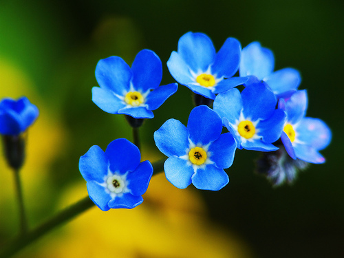 Forget-Me-Not-flower-blue (1)